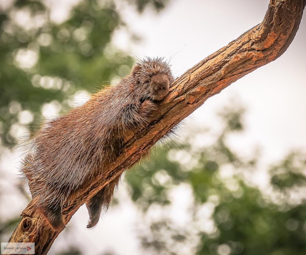 Nordamerikanischer Baumstachler