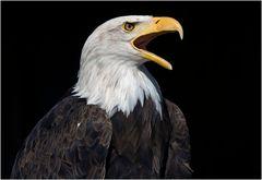 Nordamerikanischer Weißkopfseeadler