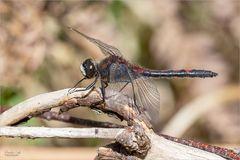 Libellen-Makros