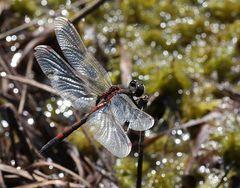 Nordische Moosjungfer (Leucorrhinia rubicunda)