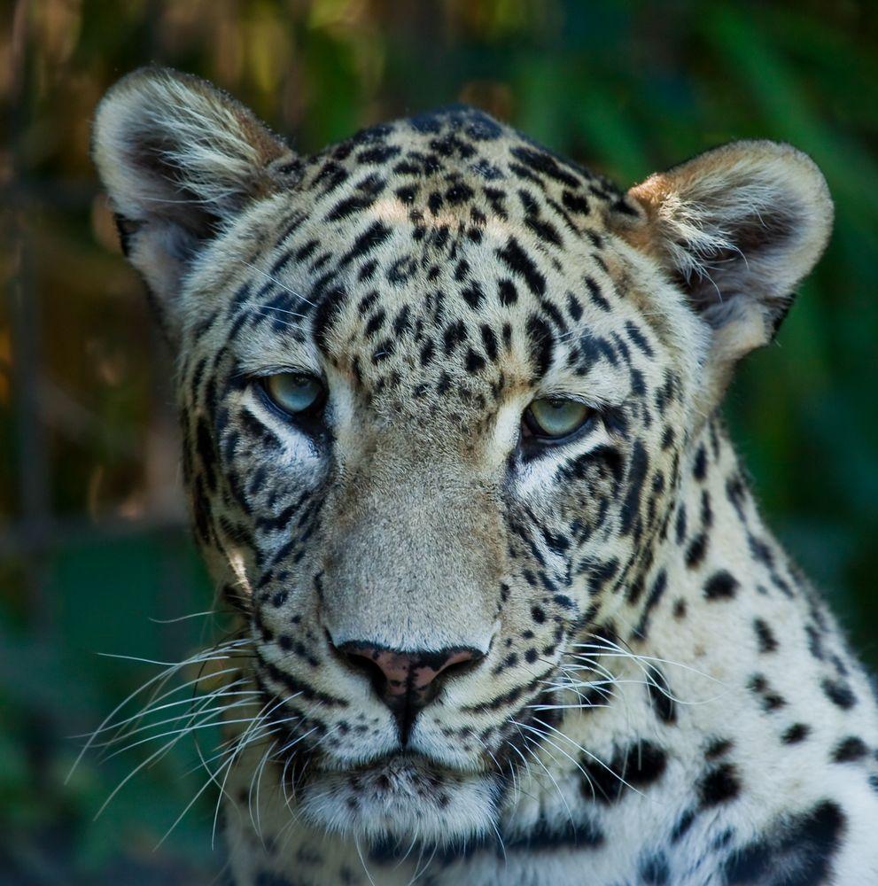 Nordpersischen Leopard