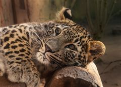 Nordpersischer Leopard