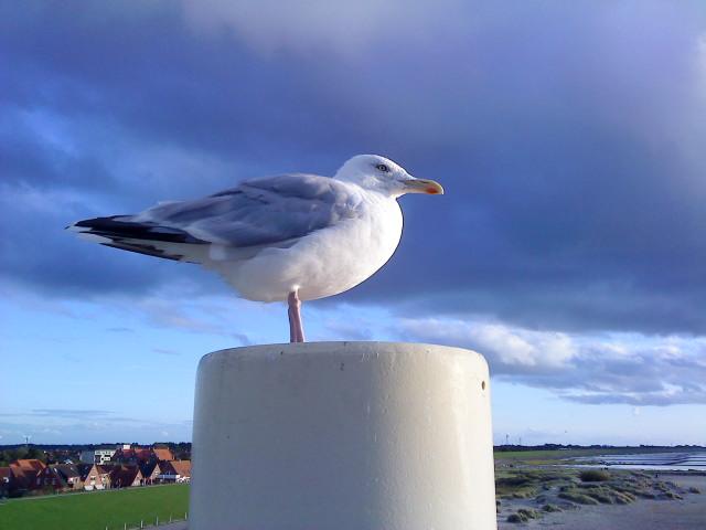 Nordsee , Möwe