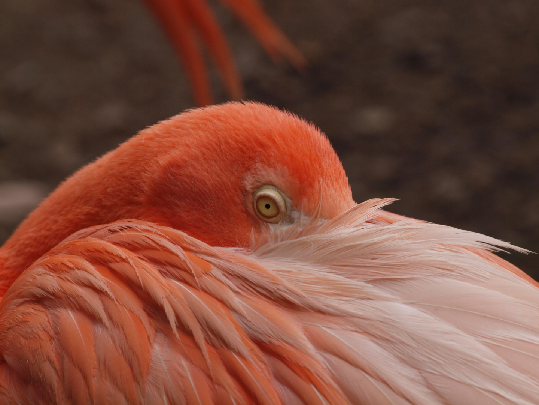 North American Flamingo