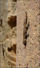 Northern Fan-Footed Gecko