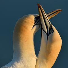 Northern Gannet, amorous
