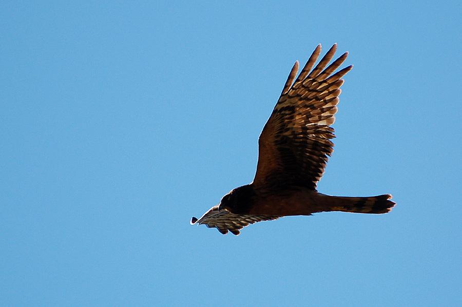 Northern Harrier, auch Marsh Hawk...