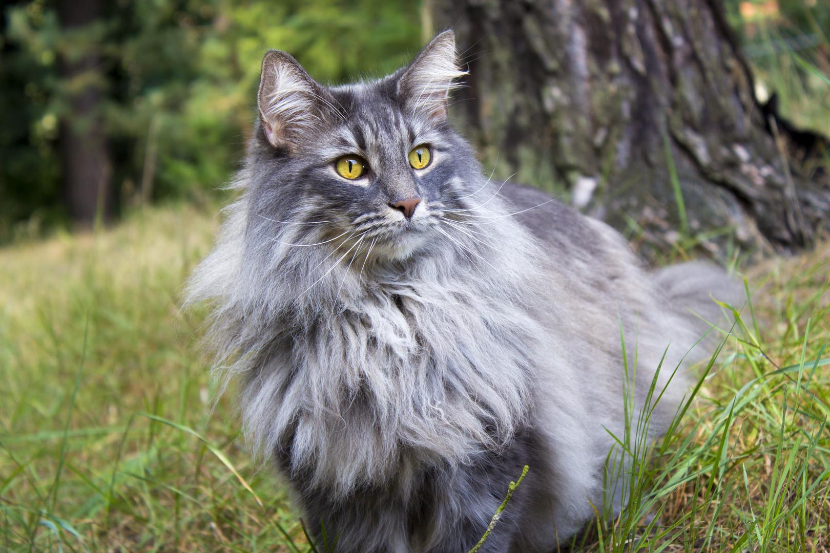 Norwegische Waldkatze Mein Katerchen Foto Bild Tiere