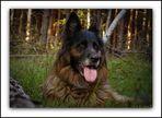 Noscha vom Bergmannshof - Langstockhaar-Schäferhund