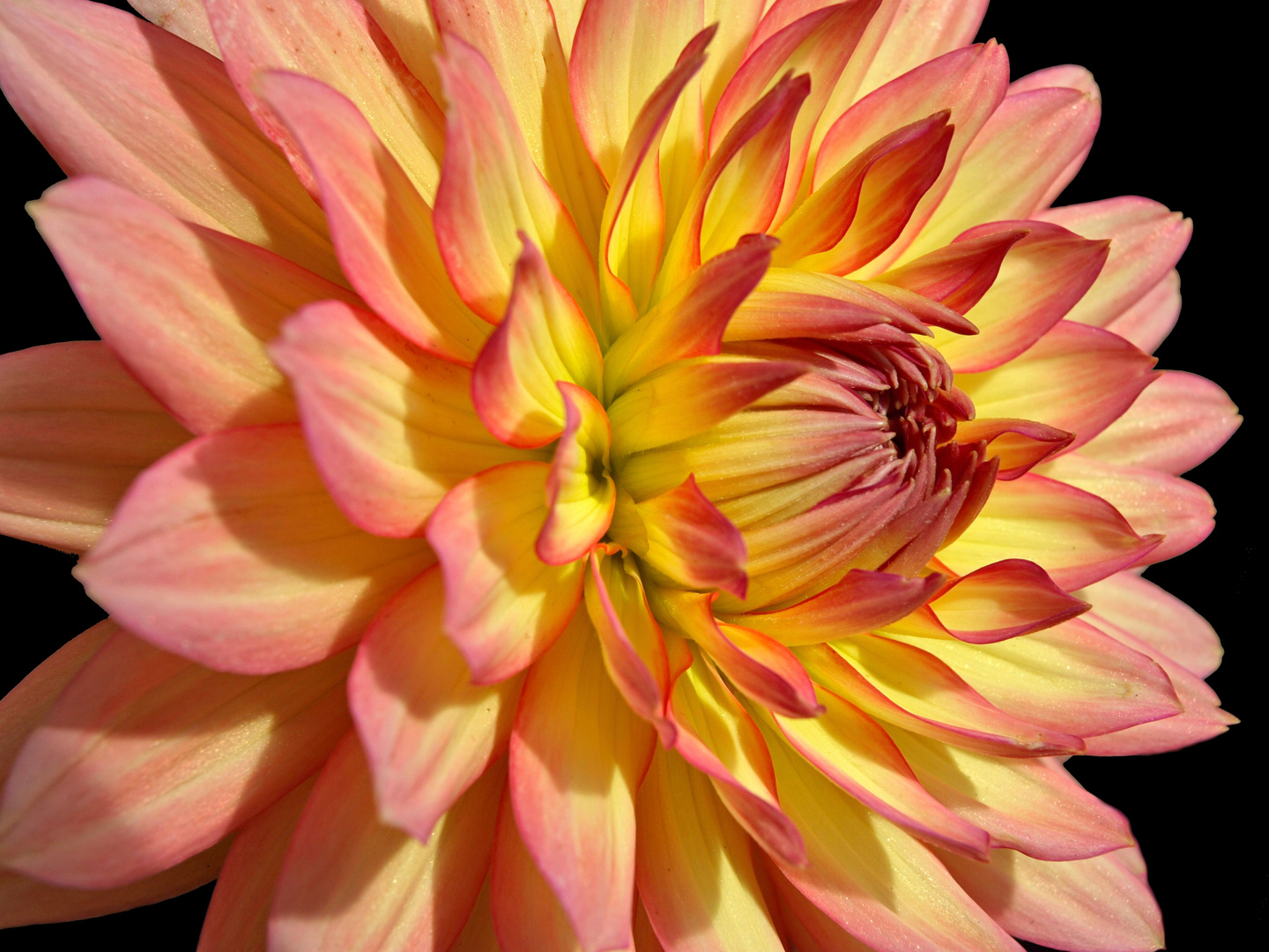 Not just another Dahlia.