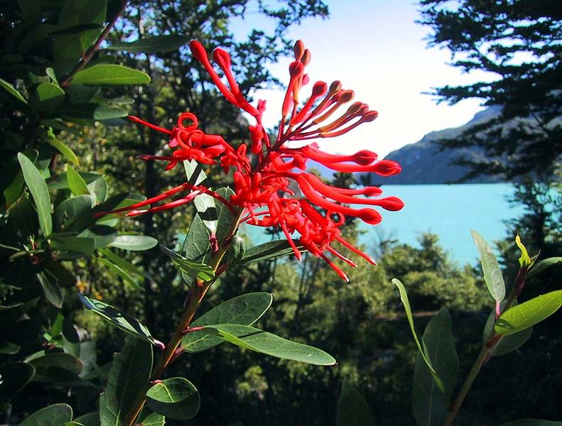 Notro- Blüte, Lago Verde- Chile