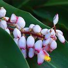 Nouvelle-Calédonie - Fleur d'alpinia speciosa - Neukaledonien - Alpinia speciosa Blume