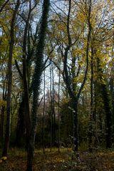 November - Ahorn