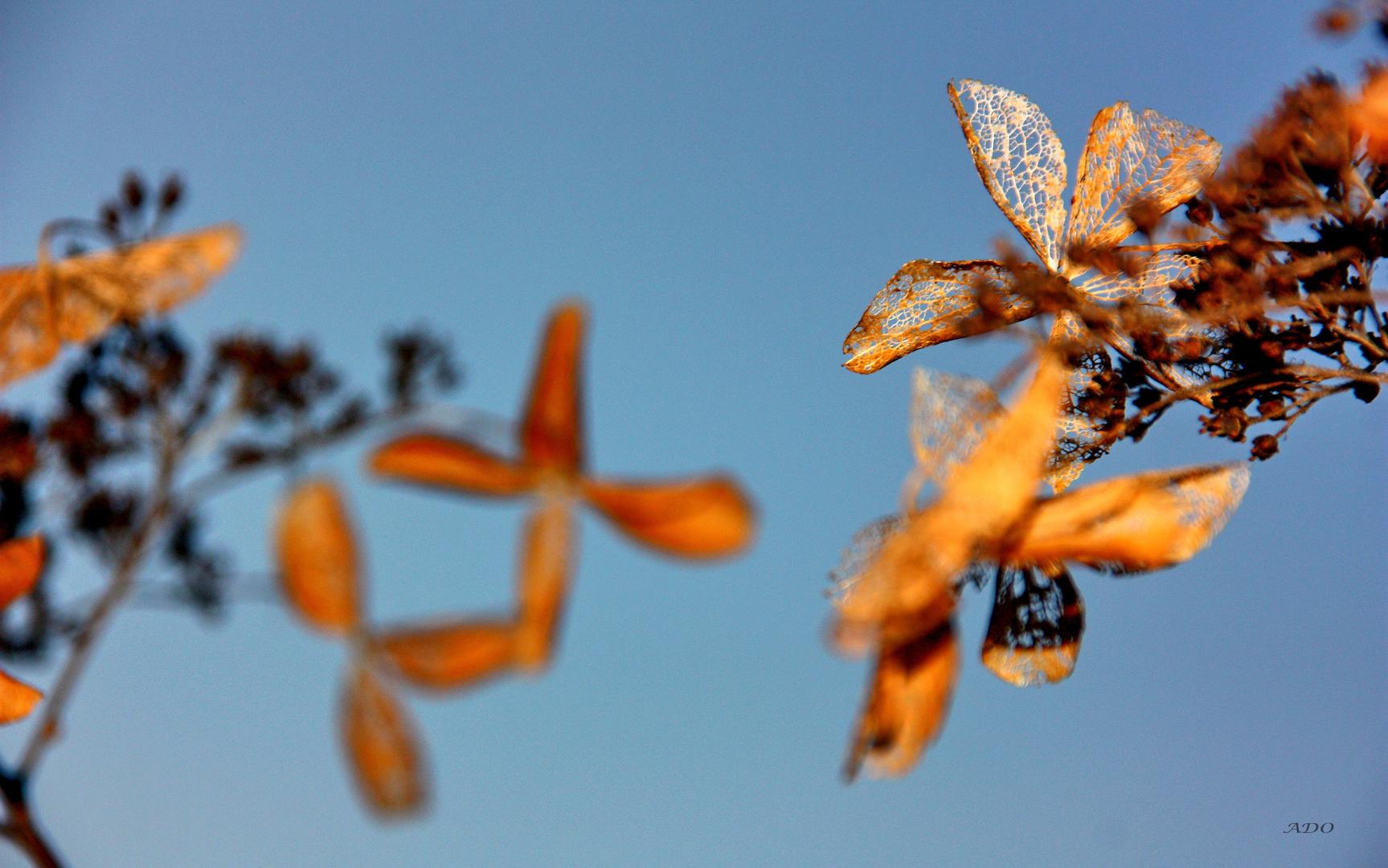 November Hydrangea  (3)