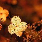 November Hydrangea