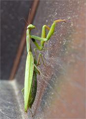 November - Mantis 2