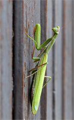 November - Mantis