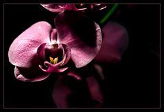 November rain oder die Orchidee