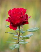 November Rose ...