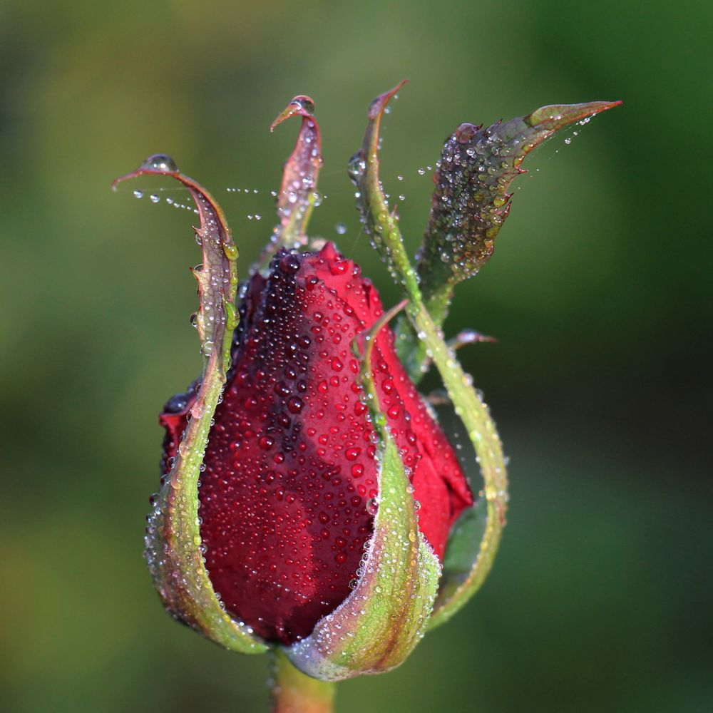 November Rose (2)