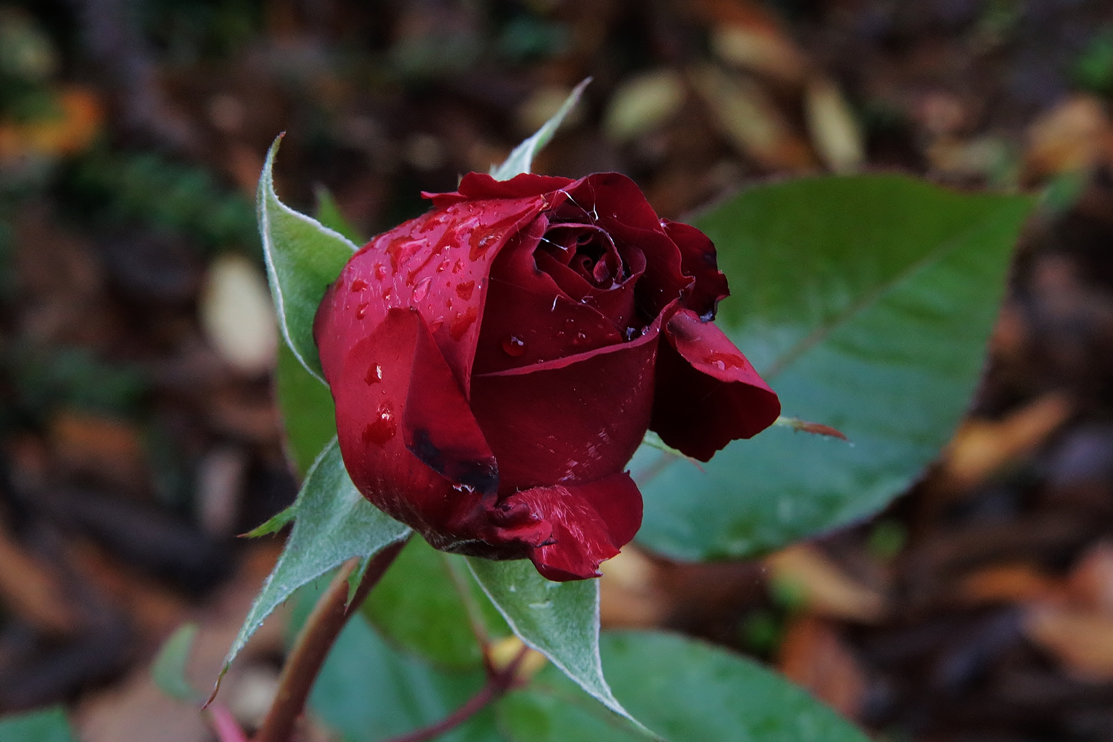 ...November Rose...