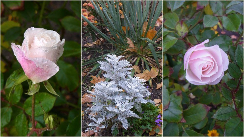 Novemberröschen in unserem Garten
