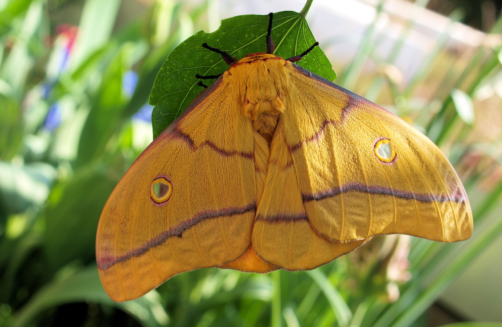 Nudaurelia (Gonimbrasia) Krucki Männchen