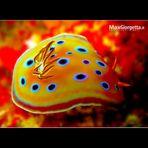 Nudibranco - Chromodoris geminus - Mar Rosso