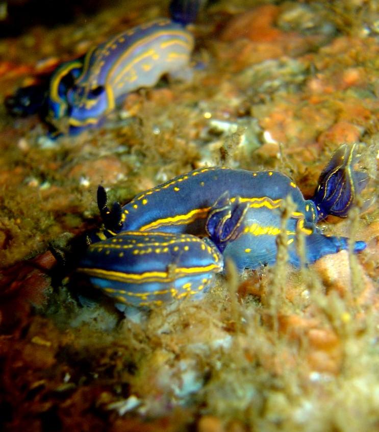 Nudibranquio Azul