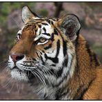 * Nürnberger Tiger *