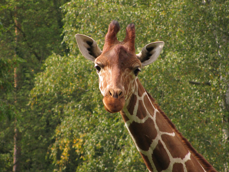 """Nürnberger Zoo / Giraffe: """"Der Depp ist schon wieder da!"""""""