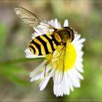 nützliche Schwebfliege (Syrphidae),