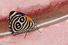 NULL ACHT ODER ACHT NULL ????Eunomia Eighty-eight or Eunomia Numberwing (Callicore eunomia)