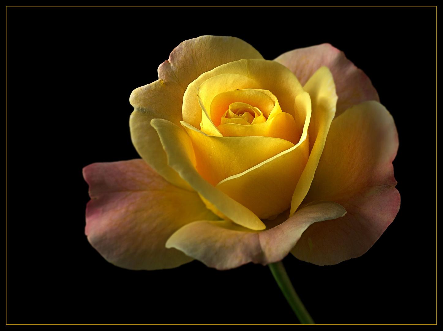 Nun ist die Zeit der wundervollen Rosen