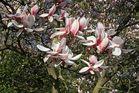 Nun sind sie voll da - Magnolienblüten