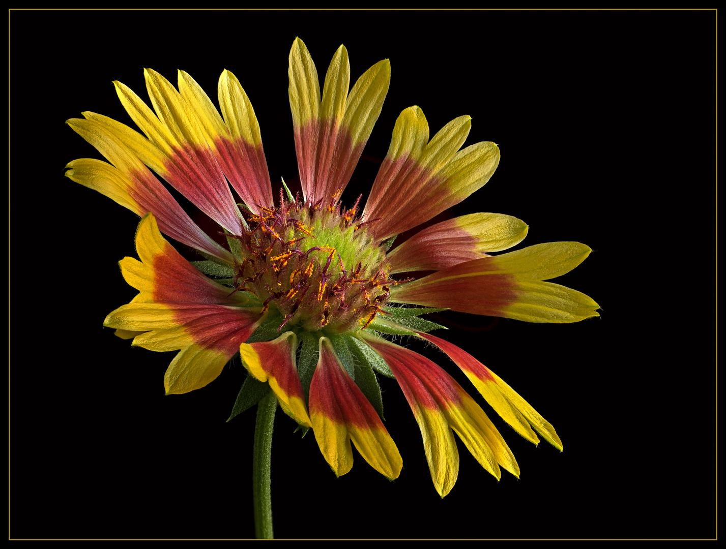 Nun verabschieden sich die sommerlichen Blumen aus dem Garten