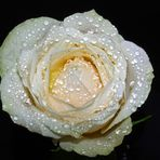 nur die Rose