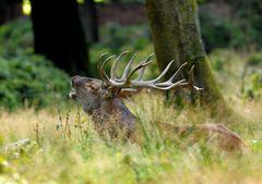Nur die stärksten Hirsche können sich auf Dauer am Brunftrudel halten