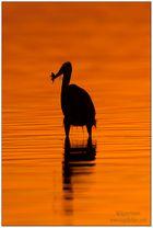 Nur ein Kanadareiher beim Sonnenaufgang