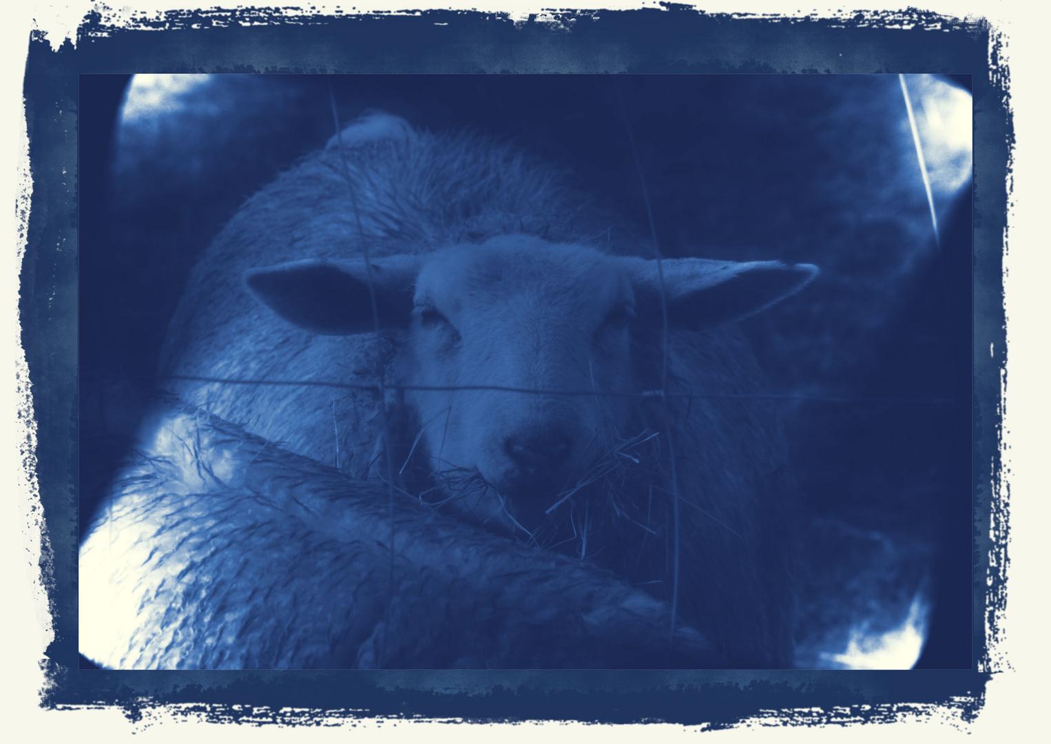 Nur ein Schaf