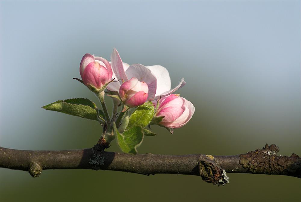 nur eine Apfelblüte