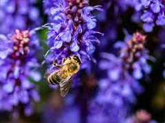 Nur EINE Biene