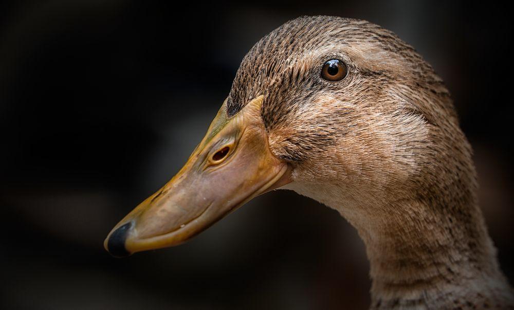 Nur eine Ente ....