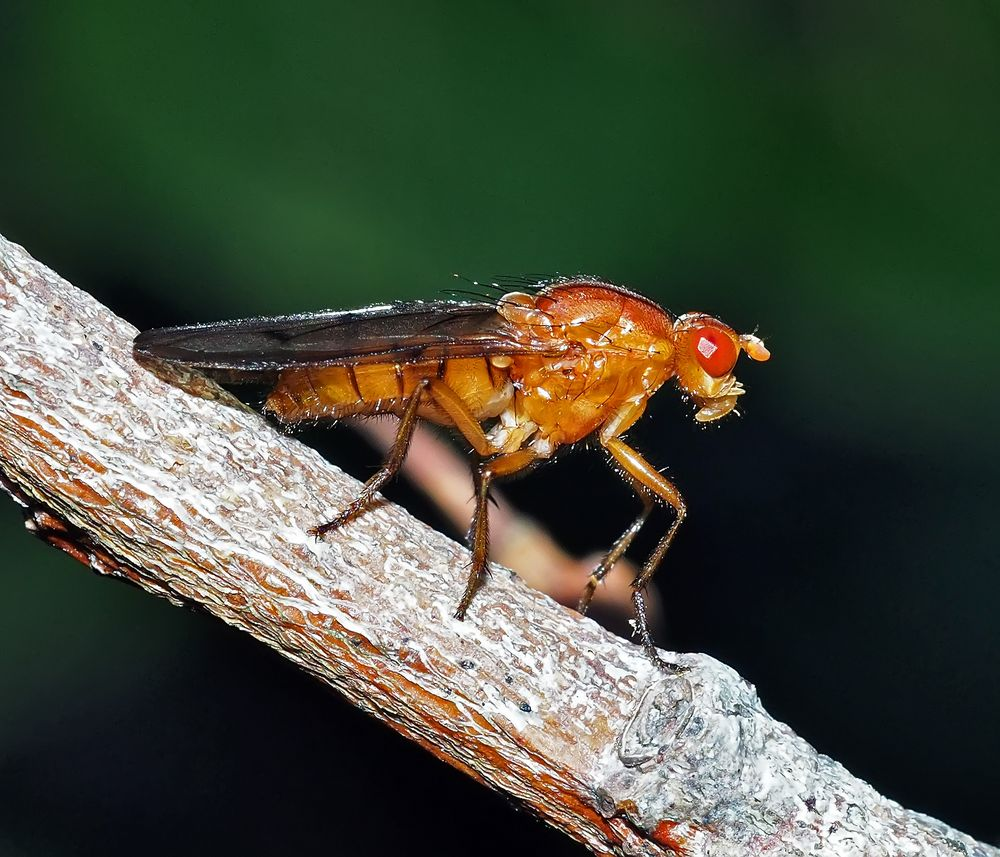 """""""Nur"""" eine Fliege, eine Baumfliege (Neuroctena anilis) *"""