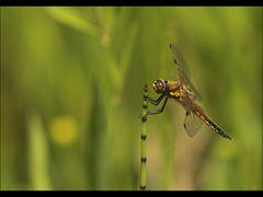 Nur eine Libelle am Tümpel! :-)