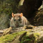 Nur eine Ratte...
