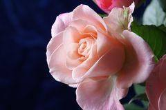 Nur eine rosarote Rose.......