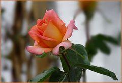 ( Nur ) eine Rose