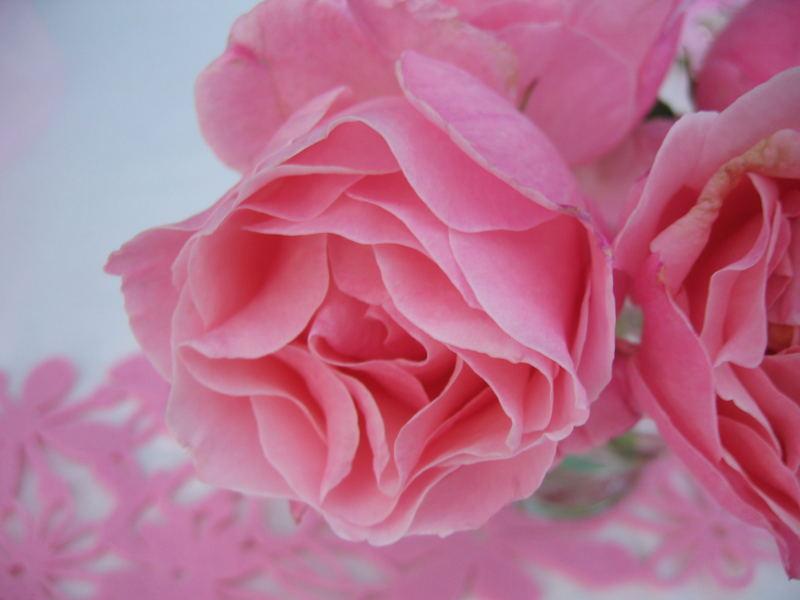 Nur eine Rose