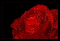nur eine rote Rose im Regen